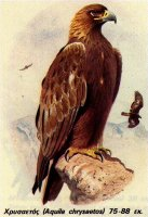 Greek golden eagle